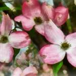 """Pink Dogwood Closeup"" by susansartgallery"