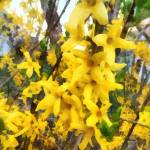 """Sprig of Forsythia"" by susansartgallery"