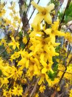 Sprig of Forsythia