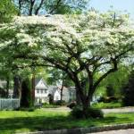 """Street With Dogwood"" by susansartgallery"