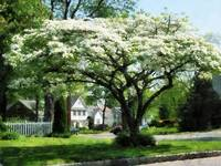 Street With Dogwood