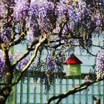 """Wisteria and Birdhouse"" by susansartgallery"