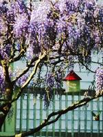 Wisteria and Birdhouse