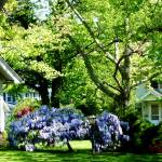 """Wisteria on Lawn"" by susansartgallery"