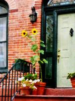 Sunflowers on Stoop