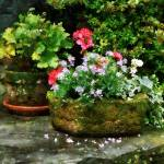 """Geraniums and Lavender Flowers on Stone Steps"" by susansartgallery"
