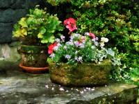 Geraniums and Lavender Flowers on Stone Steps