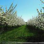 """""""Apple Orchard"""" by pattifriday"""