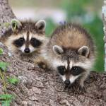 """Baby Raccoons"" by last_light"