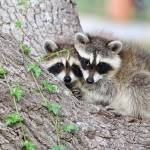 """Baby Raccoons in Tree"" by last_light"