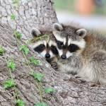 """Baby Raccoons in Tree"" by last_light"