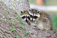 Baby Raccoons in Tree