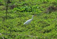 Cattle Egret on Farmland