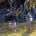 """Wood Ducks in Cypress Swamp"" by last_light"