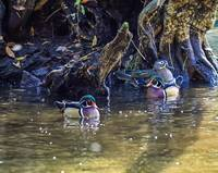 Wood Ducks in Cypress Swamp