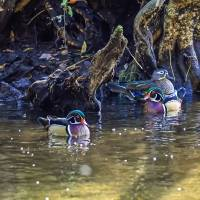 Wood Ducks in Cypress Swamp Art Prints & Posters by Warren Price
