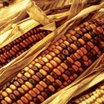 """""""Indian Corn"""" by patsphotos"""