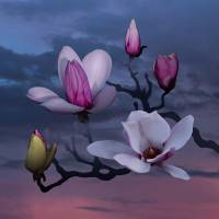 """Magnoia Sunrise"" by I.M. Spadecaller"