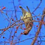 """Cedar Waxwing"" by shelshots"