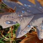 """Morning Dew on Fall Leaf"" by snarkphoto"