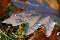 Morning Dew on Fall Leaf