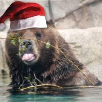 Christmas Brown Bear Art Prints & Posters by Roseann Riggi-Knudson