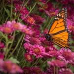 """""""Fall Monarch"""" by julieandel"""