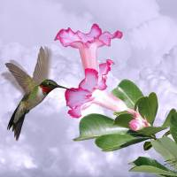 """Hummingbird and Desert Rose"" by I.M. Spadecaller"