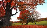 800 Maples Autumn Color