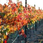 """Napa Valley Vineyard"" by rubybgold"