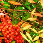 """Autumn Berries"" by SandraGouldFord"
