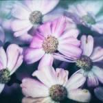 """""""Daisies"""" by dawnleblanc"""