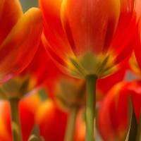 Towering Tulips Art Prints & Posters by Julie Andel