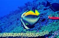 Bannerfish Hovering Over Table Coral