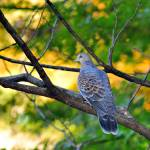 """""""Turtle Dove In Golden Sunset"""" by JoaoPonces"""