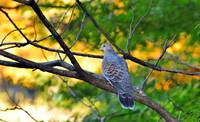 Turtle Dove In Golden Sunset