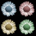 """Pop Art Daisy"" by perovict"