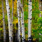 """Aspen Grove Panorama"" by NewTake"