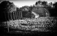Vineyard by Marcus Panek