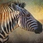 """""""zebra face study"""" by rchristophervest"""