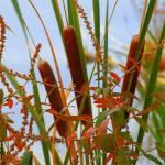 """Wildflower - Typha Latifolia Flowers"" by artsandi"