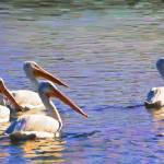"""American White Pelicans"" by mdarrah"