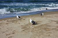 Three Seagulls by the Shore