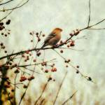 """Vintage Pine Grosbeak"" by LJdesigns"