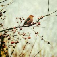Vintage Pine Grosbeak by Lisa Rich