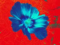 Bright blue flower on red