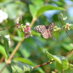 """Speckled Wood Butterfly"" by malcolmsnook"