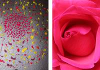 Red Rose Diptych