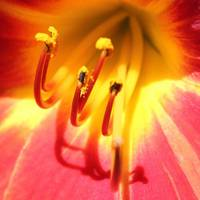 Red & Yellow Flower, available on metal, paper, ca