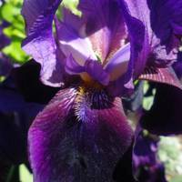 Iris- available on metal, paper, canvas in sizes 1